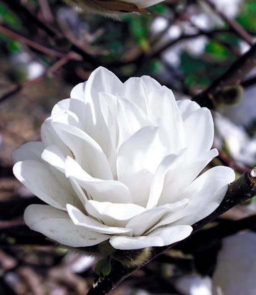 magnolie mag s pirouette 1a qualit t kaufen baldur garten. Black Bedroom Furniture Sets. Home Design Ideas