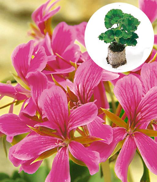 h nge geranie 39 pink ros 39 h ngepflanzen bei baldur garten. Black Bedroom Furniture Sets. Home Design Ideas