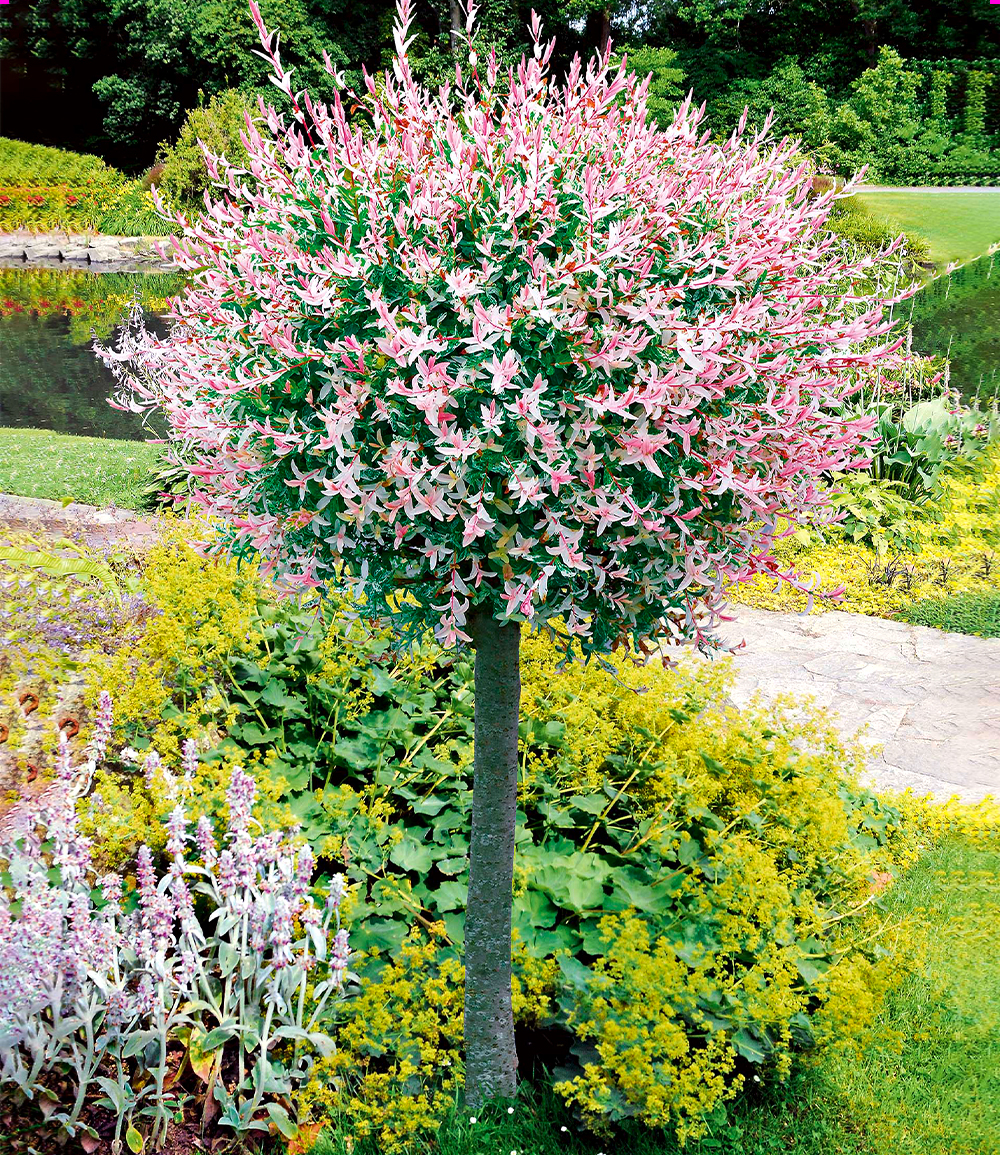 Salix-Stämmchen 'Hakuro Nishiki'