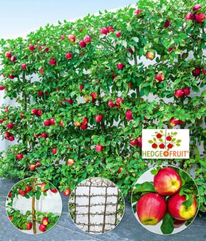 Apfel-Hecke 'HEDGE+FRUIT®' Gala