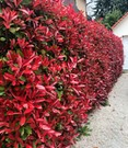 Photinia-Hecke 'Red Robin'