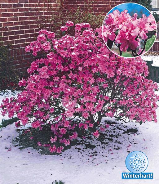 rhododendron praecox 1a qualit t kaufen baldur garten. Black Bedroom Furniture Sets. Home Design Ideas