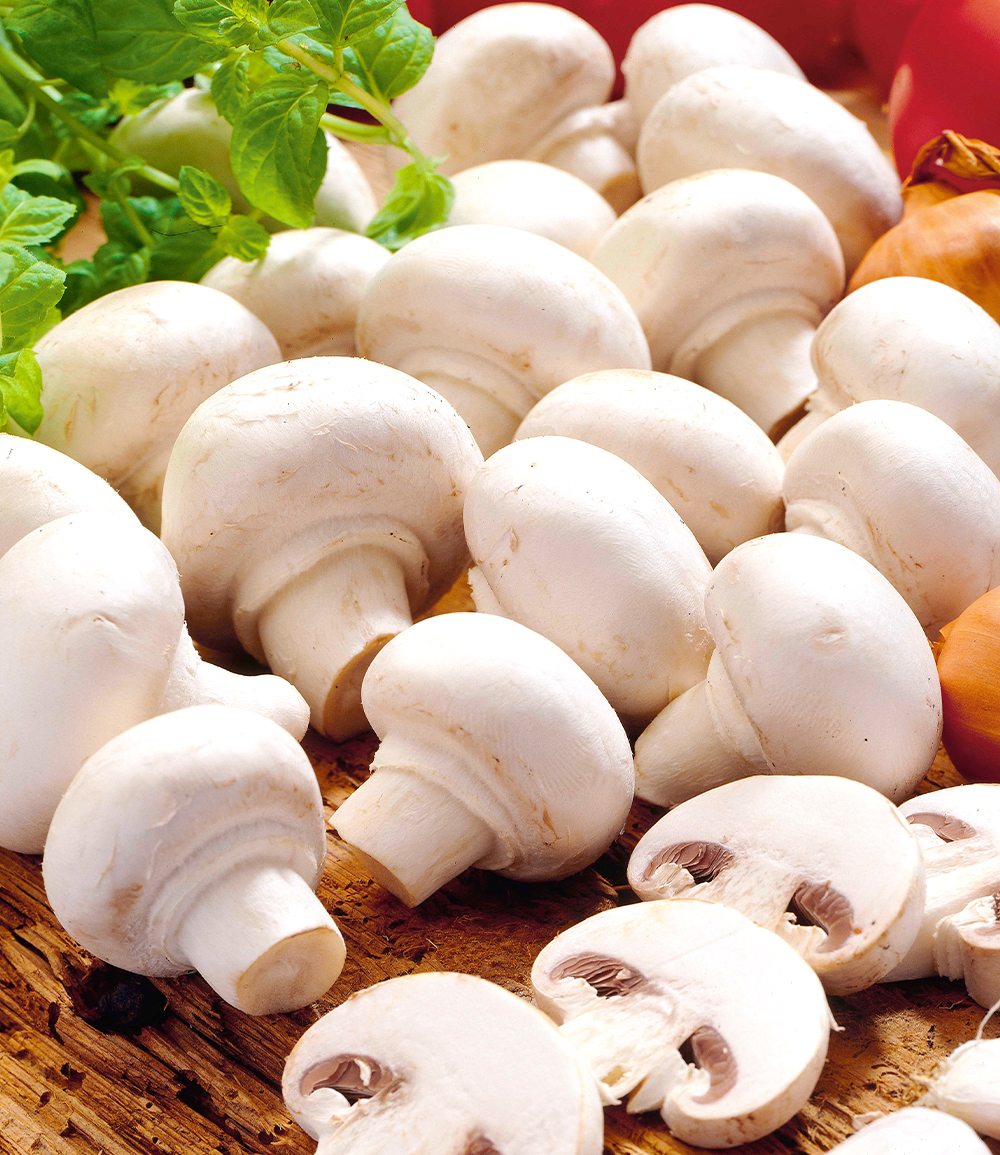 Weiße Edel-Champignons (Kulturset)