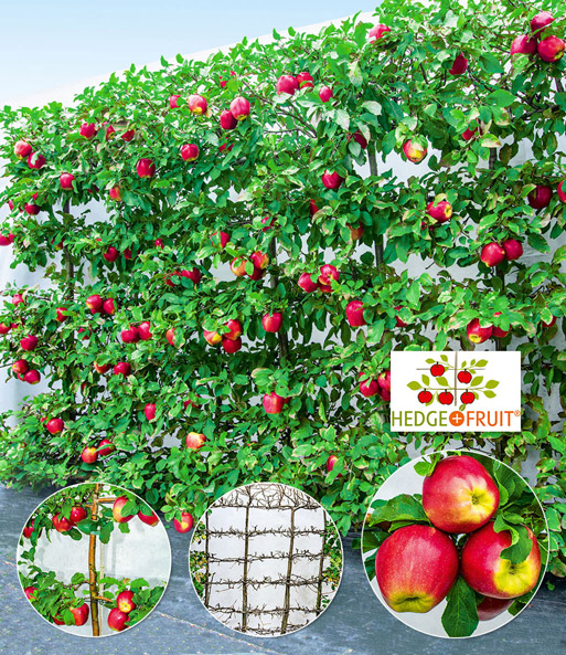 3er Apfel-Hecke 'HEDGE+FRUIT®' Gala