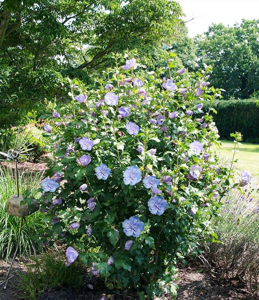 gef llter hibiskus chiffon blau 1a pflanzen baldur garten. Black Bedroom Furniture Sets. Home Design Ideas