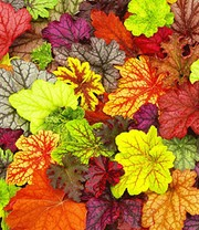Heuchera-Mix 'Farbpalette'