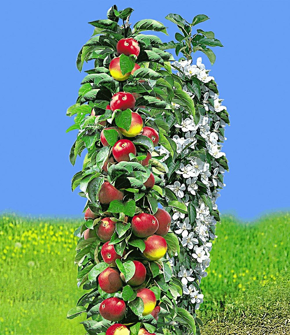 Säulen-Apfel 'Red River®'
