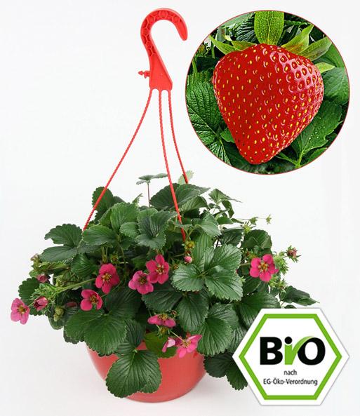 erdbeer ampel 1a pflanzen online kaufen baldur garten