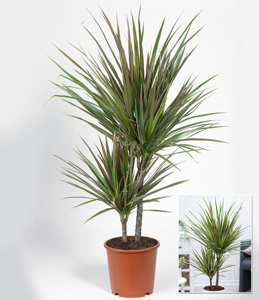 dracena 39 marginata bicolor 39 ca 70 cm hoch 1a qualit t baldur garten. Black Bedroom Furniture Sets. Home Design Ideas