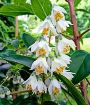 Magnolie Kleinwüchsig magnolie genie magnolie bei baldur garten