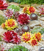 Sempervivum-Mix 'Chick Charms®' mit 2 Gold Nugget