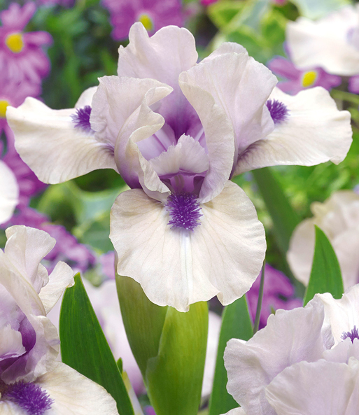 Zwerg-Iris 'Tickety Boo'