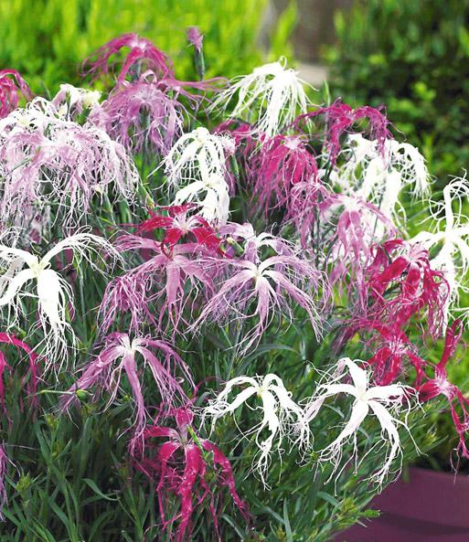 Dianthus Dancing Geisha Winterharte Stauden Baldur Garten