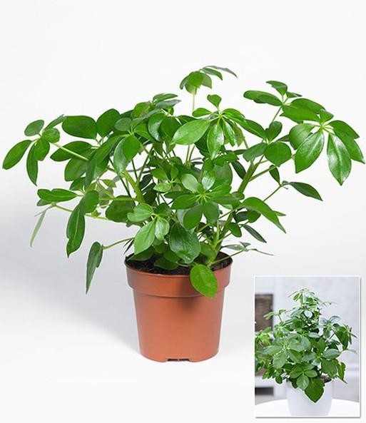 Schefflera 1a zimmerpflanzen online kaufen baldur garten - Standort zimmerpflanzen ...