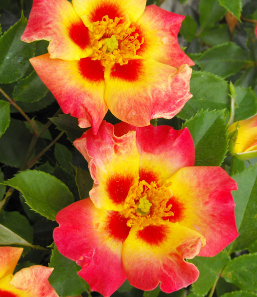 Rose Babylon Eyes® 'Sunshine'